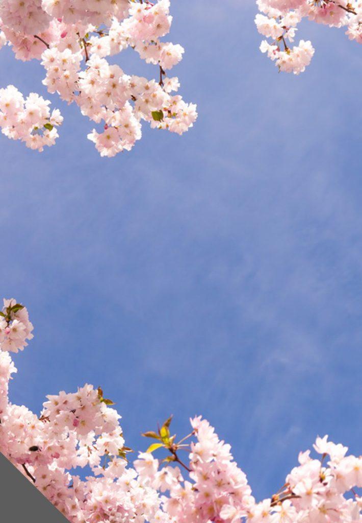 trần in barrisol việt nam với hình hoa anh đào